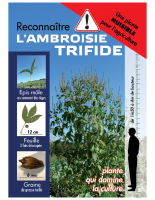 reconnaître ambroisie trifide